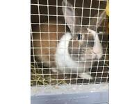 1 year old rabbits and hutch