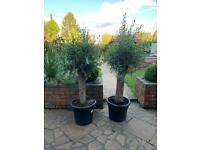 Large trunked olive trees