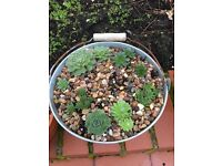 Bucket planted with Sempervirens