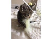 9 week old female tabby kitten for sale