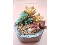 Mixed Succulents for sale