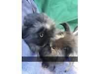 Lionhead bunnies ready to leave girls and boys beautiful blacks and colours