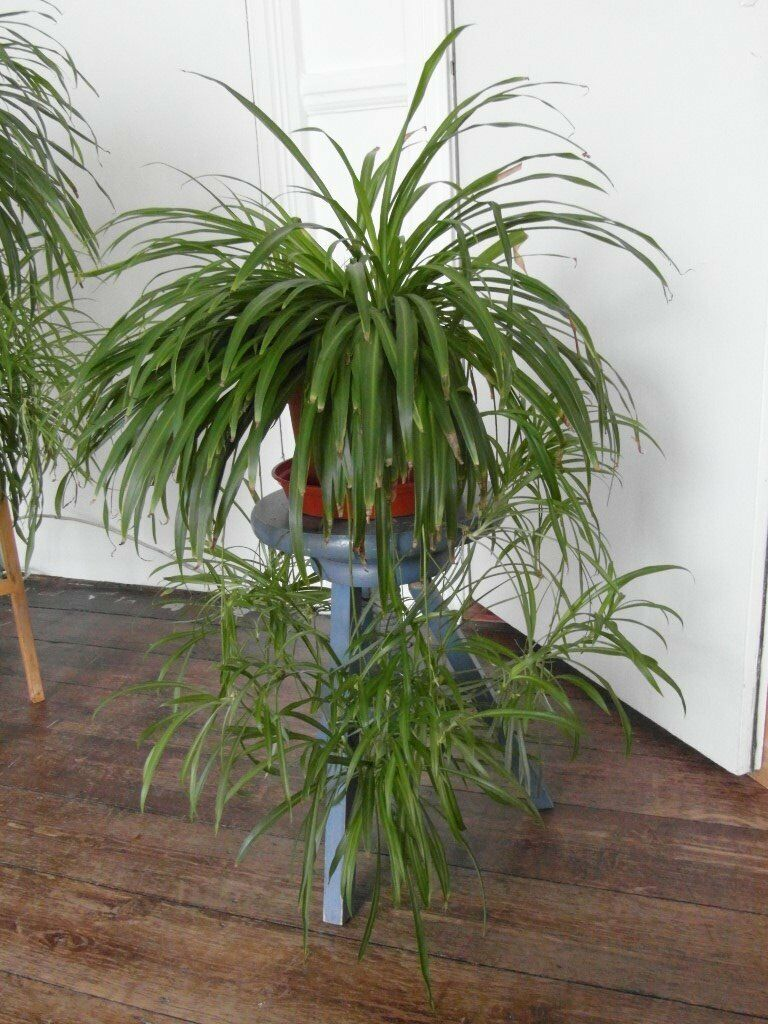 house plant big spider plant in camden town london gumtree. Black Bedroom Furniture Sets. Home Design Ideas