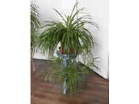 House plant - Big Spider Plant
