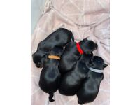5 Yorkshire Terrier puppies for sale
