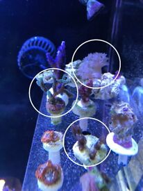 Coral Frags for sale - SPS & LPS & Soft