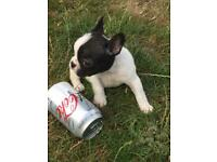 French bull dogs miniature