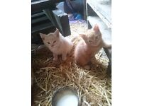 2 adorable 8 week old kittens. 1 Ginger, 1 oatmeal colour