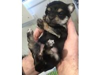 Morkie Moodle Puppies. 1 left