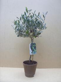 Olive Tree In Terracotta Pot