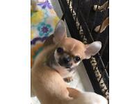 Smoothcoat Chihuahua Boy