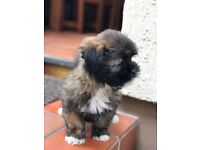 LHASA APSO Pups For Sale. Beautiful Tri-colour puppies