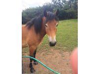 13hh pony
