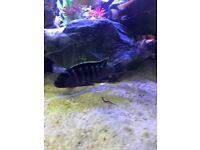 Tropical fish males