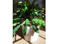 Madagascar Jewel (Euphorbia Leuconeura)