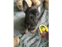 Blue and tan boy frenchbulldog pup Atat dd kyky 8 weeks old ready to leave for his forever home