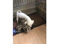 Zuchon puppies ready now