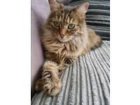 Mainecoon kitty