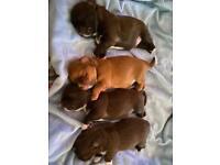 💕Beautiful Chocolate Shih Tzu Puppies💕