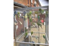 Male budgies £10 each