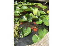 Pond fish of various sizes for sale, some are gold fish and some hybrid