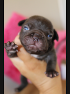 French bulldogs Brisbane City Brisbane North West Preview