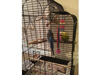3 Male Budgies with cage, stand and food