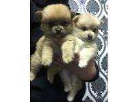 XXS Size Tea cup Mini Pomeranian Puppy's Full Pedigree £799