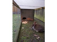 Rabbits for sale. 1 black female. 1 brown and white male.