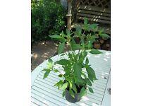 Good size ,Healthy Chilli Apache Plants