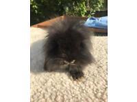 Mini lion lop buck