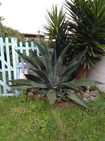 Free Huge Cactus - Agave Amerciana