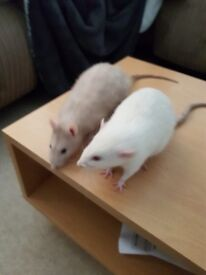 2 Male Rats for Rehoming