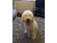 LABRADOODLE(MINIATURE)PUPPY FOR SALE* MALE 5 MONTHS OLD*WHITE