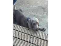 Weimaraner puppy 16 weeks