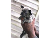 Quality French Bulldog Puppies