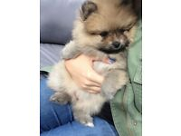 Pomeranian Puppy **AVAILABLE TO LEAVE NOW**