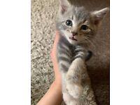 Kitten grey mixed