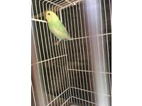 Non flyer budgie