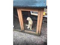 Albino micro type hob ferret & cage