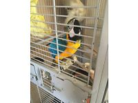 Macaw parrot for sale!