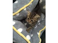 YOUNG KITTEN NEEDS URGENT REHOMING