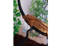 Female Crested Gecko With Setup