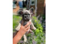 Kc registered french bulldog puppies health tested clear parents