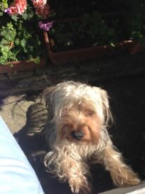 Charming loved Yorkshire Terrier for sale