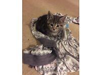 Beautiful cross maine coone kittens