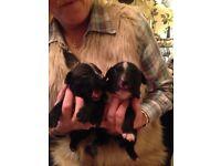 2 beautiful staffy puppies 1 boy 1 girl £150 £200