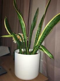 Large snake plant in white pot