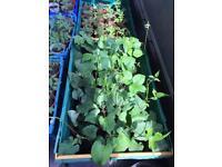Runner beans/ Tomato plants