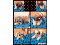 Shih tzu X poodle puppies